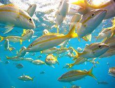 Yellow Tail, Florida Keys