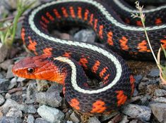 Red-spotted Garter Snake, Thamnophis sirtalis concinnus