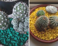 Como cuidar de cactos Cactus Plants, Cacti, Fruit, Gardening, Blog, Succulents In Glass, Succulent Terrarium, Succulents Garden, Cactus Types