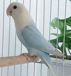 Pretty Polly wants a cracker. Love Birds Pet, Cute Birds, Pretty Birds, Little Birds, Beautiful Birds, Budgies Parrot, Parrot Bird, Parakeet, Exotic Birds