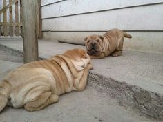 Animals And Pets, Baby Animals, Funny Animals, Animals Planet, Chinese Shar Pei Dog, Chinese Dog, Wrinkly Dog, Shar Pei Puppies, Fluffy Puppies