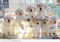 Golden retriever puppies-I think they want to come home with me.