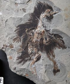 A new technique — which can also be used for dinosaurs, one paleontologist said — led to the discovery of key proteins within the old feathers.