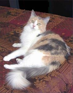 Pin By Xion On Pretty Cats 1 In 2020 Calico Cat Pretty Cats Cats And Kittens