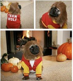 Teen Wolf pug. Perfect & hilarious Halloween costume....too bad the kids would have no idea who he was!