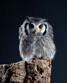 StudioView — cloudyowl: White-faced Scops Owl by babygreys