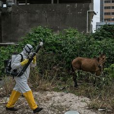 A municipal health agent in Recife sprayed insecticide last month to combat Aedes aegypti mosquitoes which transmit the #Zikavirus. Zika once an obscure virus discovered in Uganda in the 1940s was long thought to pose relatively little harm compared with some other diseases transmitted by mosquitoes like malaria and dengue. But as Zika spreads international health officials are anxiously monitoring Brazils efforts to combat the virus. This #nytweekender were sharing photos by @limauricio a…