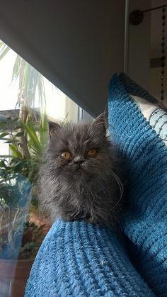 Choo the Blue Persian Kitten