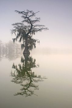 Crooked Cypress - Ben Pierce Photography taken on a perfectly calm Lake Martin morning
