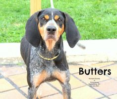 Bluetick Coonhound mix F 5 years named Butters in Parkersburg, WV @ Humane Society of Parkersburg