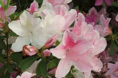 Pink Azalea blooms in #Savannah GA