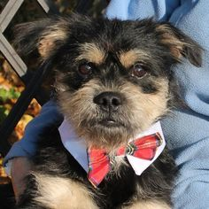 Izzy-PENDING is an adoptable Pug searching for a forever family near Garfield Heights, OH. Use Petfinder to find adoptable pets in your area.