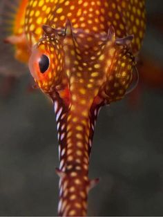 Looking into the eyes of a seadragon