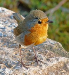 Tiny Robin, Spindly Legs (Conwy) by Cj Roberts