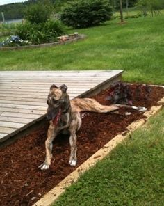 Mulch And Pet Safety: Tips On How To Keep Mulch Safe For Pets – Rena Huff – Cat playground outdoor Dog Friendly Backyard, Dog Backyard, Backyard Ideas, Wedding Backyard, Garden Ideas, Garden Mulch, Dog Garden, Gardening, Mulch Yard