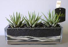 cute house plants non toxic to cats on three stripes aloe on glass vase (Haworthia)