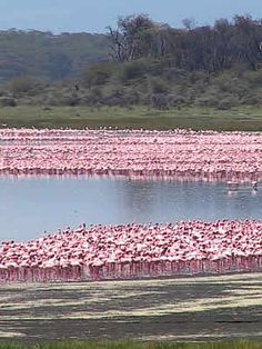 Lake Naivasha, Kenya - the lake is normally ringed with flamingos!  I would go camping here when I was little.  You never knew what you might run into on the way to the bathroom at night!  Google Image Result for http://www.eastafricashuttles.com/images/african-jacanas.jpg