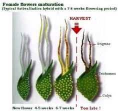 Stages of Marijuana Flowering and Light Cycles - Learn Growing Marijuana