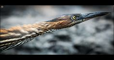 The Lava Heron (Butorides sundevalli), also known as the Galapagos Heron, is a species of heron endemic to the Galapagos Islands.  The Lava Heron stalks small crabs and fish slowly before quickly spearing and eating them. They have also been known to Some folks say God is dead - http://www.sashaslavic.com/
