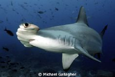 I remember my dad caught a Hammerhead shark when I was a teen...thinking back now, I'm glad he was dead...lol