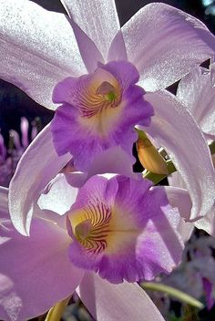 This photo captures that translucent shimmer orchids have in their petals.  Beautiful!