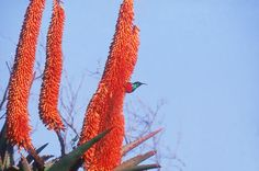 Aloes in flower at Dune Ridge Country House, St Francis Bay