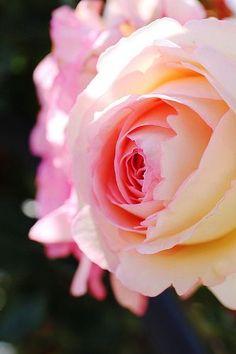 Beautiful Flowers Garden: Beautiful Pink Rose ❤