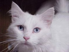 Olhos de um gato Angorá