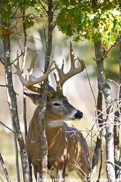 Beautiful mature buck. #Whitetail #Deer