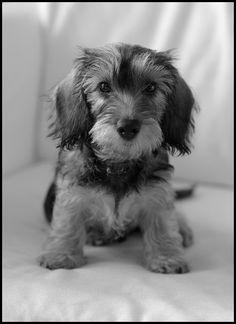 fluffy dachshund puppy