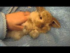 Miniature lop eared bunny - QQ Summer - Getting a good massage 2