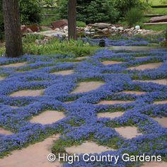 Turkish Veronica - fast growing, thrives in difficult climates . Drought tolerant, needs shade in hot summer.
