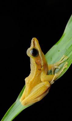 Chalcorana raniceps Beautiful Horses, Animals Beautiful, Frosch Illustration, Types Of Frogs, Amazing Frog, Awesome, Animals And Pets, Cute Animals, Funny Frogs