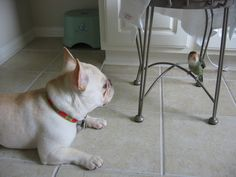 French Bulldog with a Lovebird