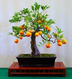 Poncirus citrus trifoliata Bitter Orange 10 seeds by SmartSeeds, $3.99     Fragrant white flowers, small sour fruit used for marmalade, crooked shape.  Cold hardiness and superior disease resistance make this tree ideal for commercial grafting purposes but also means it's easy to grow.  She ships 10 fresh stratified seeds in moist paper, ready for planting.
