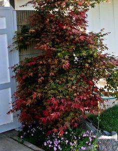 ACER palmatum Beni maiko at Essence of the tree Japenese Maple, Acer Palmatum, Plants, Plant, Planets