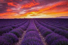 Field of lavender at sunrise, Valensole, Provence, France. Photograph: Tom Mackie