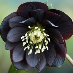 78 best poisonous plants images on pinterest poisonous plants black hellebore is a poisonous and medicinal plant the toxins in black hellebore mightylinksfo