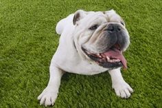 The Gifted Pet  ♥: Dog Breeds 101 ~ Bulldogs
