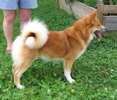 Icelandic Sheepdog Studs Dogs Available in Canada and United States: Tofra Hroi Grettir - Icelandic Sheepdog Stud -Eastern United States