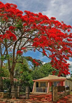 Gorgeous red-leafed tree near Santo Domingo, Dominican Republic. Beautiful Islands, Beautiful Places, Flamboyant, Flowering Trees, Dominican Republic, World Best Photos, Caribbean, Hotels, Around The Worlds
