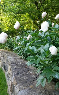 Container Gardening For Beginners White Peonies Indoor Vegetable Gardening, Container Gardening, Herb Container, White Peonies, White Flowers, Beautiful Gardens, Beautiful Flowers, Cottage Garden Design, Peonies Garden