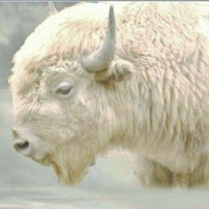 of the White Buffalo White Buffalo, American Indians predicted white Buffalo one was born in Wisc. named Miracle.White Buffalo, American Indians predicted white Buffalo one was born in Wisc. named Miracle. American Bison, American Indians, American Symbols, American Women, American Art, Rare Animals, Animals And Pets, Wild Animals, Beautiful Creatures
