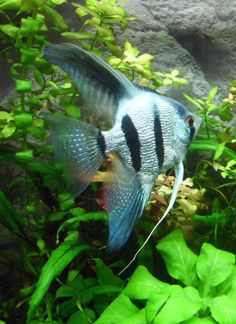 1000 ideas about fish aquarium decorations on pinterest for Freshwater community fish