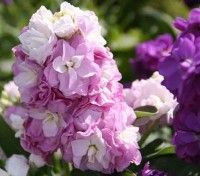 hybrid Matthiola Incana Stock | Ten Week Stocks are compact, bushy and easy to raise with a glorious ...