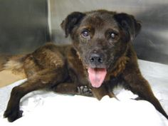 LITTLE BEAR TO BE DESTROYED‼️ - 10/06/16 - **SENIOR** - SUPER URGENT Brooklyn - LITTLE BEAR - #A1091937 - FEMALE BROWN LABRADOR RETR MIX, 10 Yrs- STRAY - EVALUATE, NO HOLD Reason STRAY - Intake 10/01/16 Due Out......