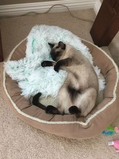 Longest-lived Cat Breed: The Siamese I Love Cats, Crazy Cats, Cool Cats, Siamese Cats, Cats And Kittens, Ragdoll Cats, Cat Toilet Training, Oriental Cat, Cat Sleeping