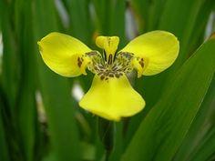 One of my favorite plants - Yellow Walking Iris