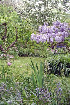 Tuinatelier Herman & Vermeulen | Wisteria of blauwe regen past goed in een romantische, natuurlijke tuin #cottage