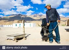About to weigh a yak in Bulunkul, Pamirs, Tajikistan Stock Photo
